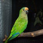 紅面具錐尾鸚鵡