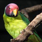 紫紅頭鸚鵡