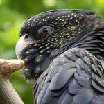 紅尾黑鳳頭鸚鵡