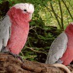 粉紅胸鳳頭鸚鵡