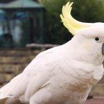 (大)葵花鳳頭鸚鵡