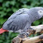 非洲灰鸚鵡