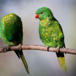 鱗胸吸蜜鸚鵡