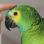 藍頂亞馬遜鸚鵡