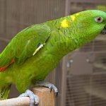 黃頸亞馬遜鸚鵡