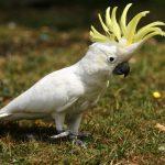 小葵花鳳頭鸚鵡