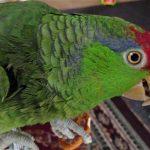 綠頰亞馬遜鸚鵡
