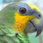橙翅亞馬遜鸚鵡