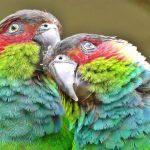 藍喉錐尾鸚鵡