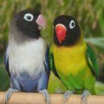 面罩愛情鳥 & 黑頰愛情鳥