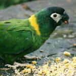 黃領金剛鸚鵡