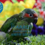 鸚鵡用品推薦以及鸚鵡怎麼養達人分享鳥店不告訴您的秘訣