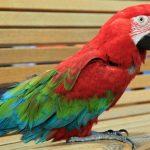 紅寶石金剛鸚鵡