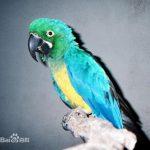 卡洛沙金剛鸚鵡