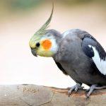 玄鳳鸚鵡飼養與雌雄玄鳳鸚鵡鑑別