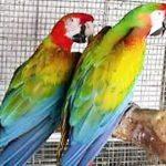 新買的鸚鵡怎麼養?該如何飼養鸚鵡呢