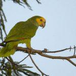 黃肩亞馬遜鸚鵡