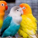 鸚鵡可以混養嗎?