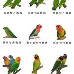 翔帥小學堂第一課「如何分辨牡丹鸚鵡種類」