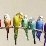 適合「孩子」飼養的4種小型鸚鵡 滿足小孩子養鸚鵡的願望