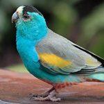 您知道金肩鸚鵡嗎?有錢都不一定買得到金肩鸚鵡 讓我們一起來了解