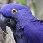 世上有4種稀有的金剛鸚鵡,紫藍金剛鸚鵡不是最稀有的
