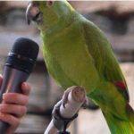 鸚鵡為什麼會學舌 | 模仿人類說話