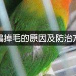 鸚鵡掉毛的原因及防治方法