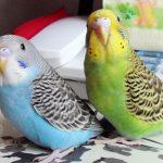 養什麼鸚鵡好 揭四種適合家庭飼養的鸚鵡
