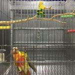 如何讓一隻鸚鵡回到籠子裡 | 處理鸚鵡回到籠子的細節教學