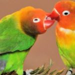 桃臉牡丹鸚鵡(小鸚)的訓練要點,桃臉牡丹鸚鵡(小鸚)幼鳥飼養要點